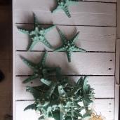 Star Fish (13) $5.00